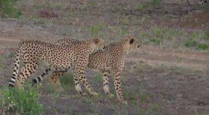 cheetah-co