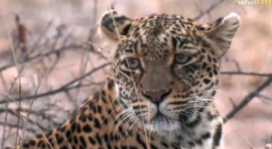 Thandi female leopard look through the winter landscape of the lowveld.