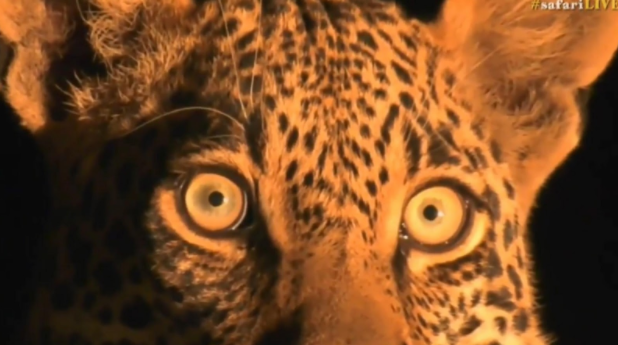 Thamba male leopard