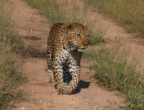 WildEarth to add Simbambili to our daily Safaris