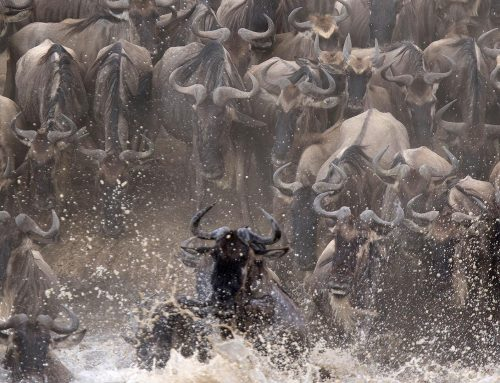 WildEarth and CGTN to bring you the wildebeest migration again!
